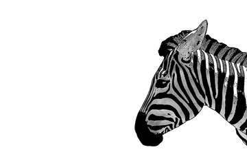 Of a zebra head. Horse Zebra isolated on white background.  Mammals are animals. Herbivorous  African animals.