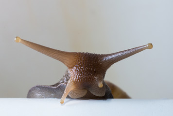 curious tree snail peeps out from behind cover on a white background