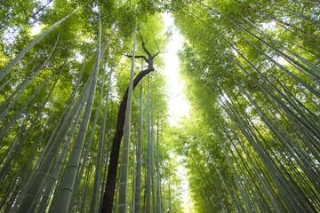 arashiyama bamboebos in kyoto japan