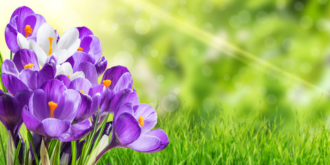 Beautiful Spring Crocus Flowers