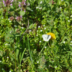 Бабочка на одуванчике (butterfly on a dandelion)