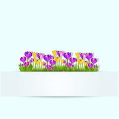 Spring flower crocus background. Vector Illustration fresh crocus flowers in blossom