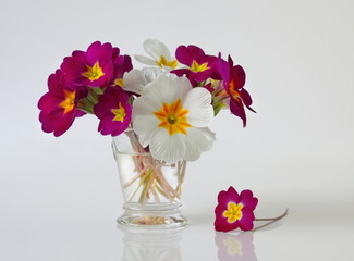 Colorful spring primula, primrose, polyanthus flowers. Floral still life with bouquet of spring primula flowers in a vase.