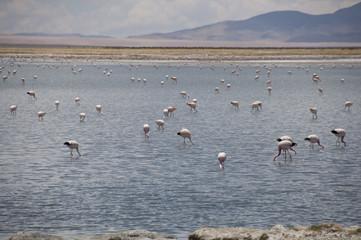 Flamencos comiendo y volando en un lago salado en el desierto de Atacama, Chile