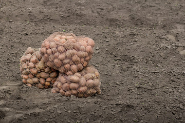 organic potatoes in the field