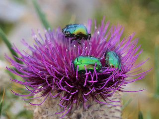 beatles on wild flower thistle
