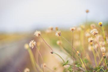 Beautiful background Grass flower, wild flower add vintage color filter soft focus