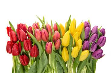Fresh tulips over white background. Spring flowers