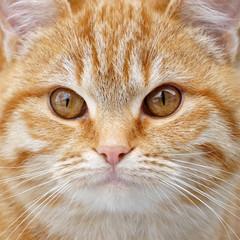 Redhead fluffy kitten face close up.