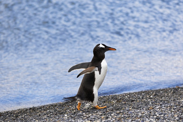 Magellanic Penguin / Patagonia Penguin walking out of the sea