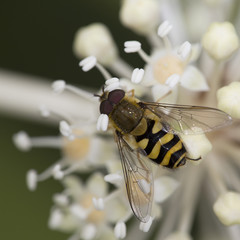 A Hoverfly feeding on a flowering plant, Cornwall, England, UK.