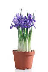 iris fioriti in vaso su sfondo bianco