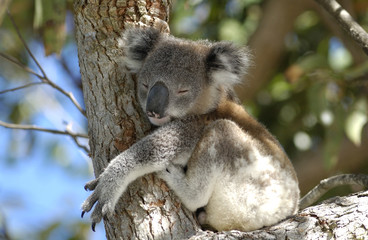 Canvas Prints Koala koala at Port Stephens area, NSW, Australia.