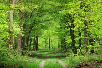 Fototapeta Walkway in a spring forest in the Netherlands obraz