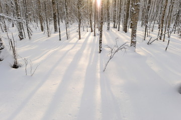 Shadows on the snow cover in winter birch forest in the morning at sunrise