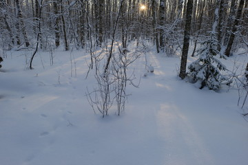 Sunrise in cold winter in the snow birch forest
