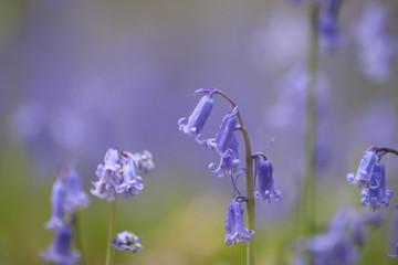 Hyacinthoides non-scripta or bluebells violet-blue flowers