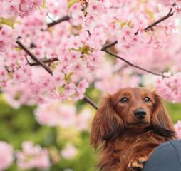 ダックスフンドと桜