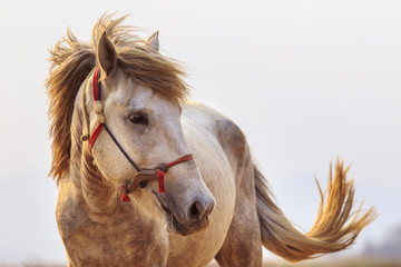 close up head shot of white horse with beautiful rim light again
