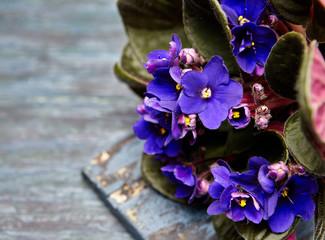dark purple  violets flower on a wdark blue background
