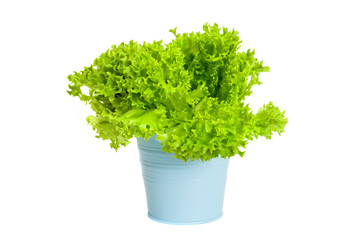 A plant of green curly salad in blue pot, isolated on white background