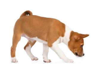 Fotobehang - Basenji puppy sniffing