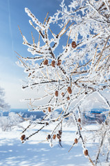 Winter tree branch with cones