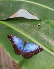 Grosser Schmetterling im Garten