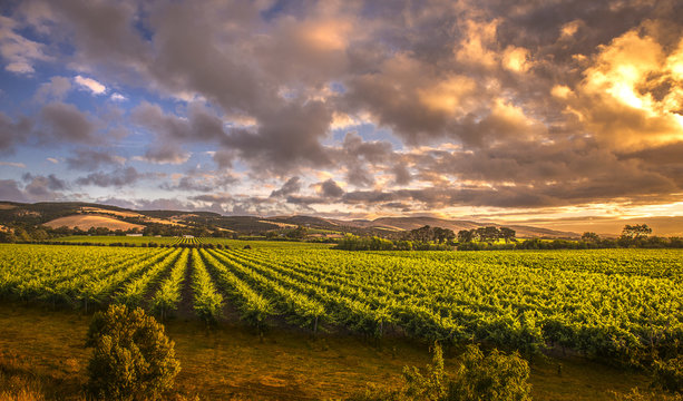 Early morning light as the sun rises over beautiful lush green vineyards