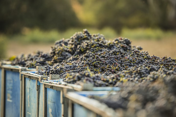 Freshly picked grapes in large bins on the vineyard