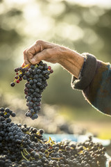 The Wine makers hand holding a freshly picked bunch of grapes.