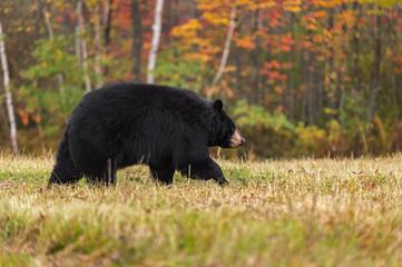 Black Bear (Ursus americanus) Walks Right in Autumn Colors