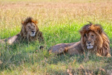 two lions resting at the masai mara national park
