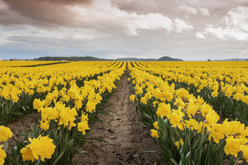 Daffodil Fields. The Skagit Valley, in Washington state, is known for it's tulip festival but before the colorful tulips erupt the daffodils make an appearance. A sure sign that spring has sprung.