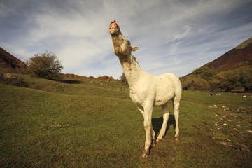 Un cavallo che nitrisce