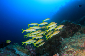 Fish school on underwater coral reef in sea ocean