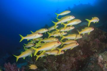 Fish school on underwater coral reef in sea ocean