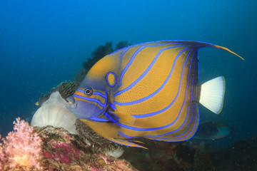 Blue ringed Angelfish on underwater coral reef