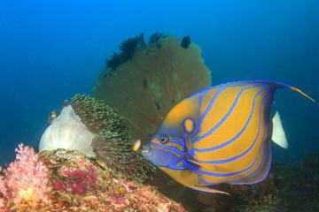 Bluering Angelfish on coral reef