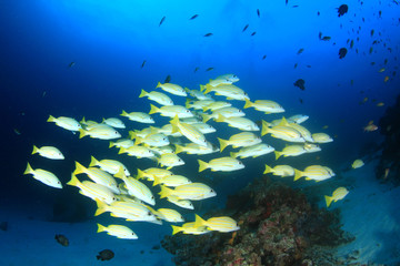 Fish school in ocean: barracudas, snappers, tunas, mackerel,sardines