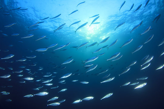 Fish school in ocean: barracudas, snappers, tunas, mackerel,sardines