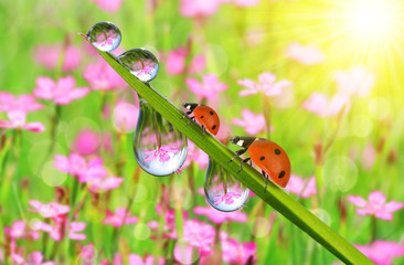 Wall Mural - Fresh green grass with dew drops and ladybugs closeup. Nature Background.