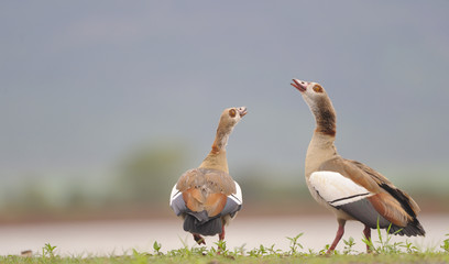 Egyptian goose Displaying ritual pairing behaviors.
