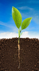 Growing plant with underground root visible and blue sky