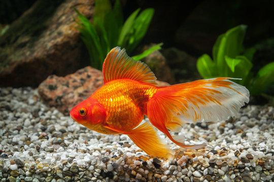 Fish. Goldfish in aquarium with green plants, and stones
