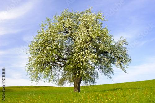 einzelner apfelbaum in bl te stockfotos und lizenzfreie bilder auf bild 104808838. Black Bedroom Furniture Sets. Home Design Ideas