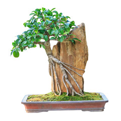A small bonsai tree in a ceramic pot. Isolated on white backgrou