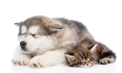 alaskan malamute puppy and maine coon kitten sleeping together.