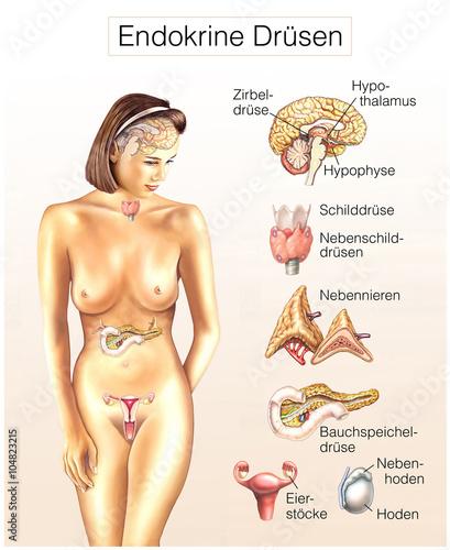 Endokrine Drüsen.Hormon-Drüsen des Körpers\