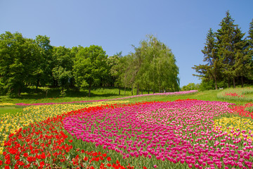 Field of colorful tulips on the background of blue sky and green